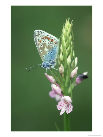 \'Common Blue Butterfly, Polyammatus Icarus\' by Bob Gibbons