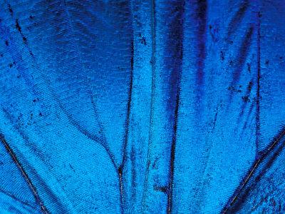 Whoa!  Now that\'s blue! :: \'Detail of Blue Morpho Wing, Barro Colorado Island, Panama\' by Christian Ziegler