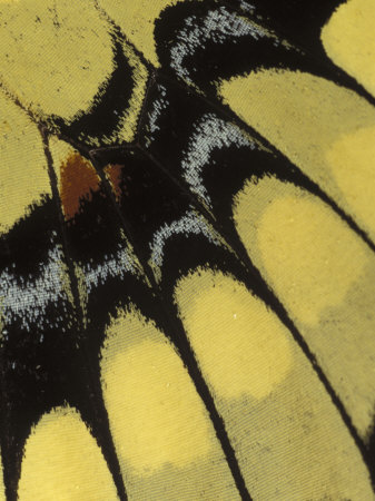 \'Swallowtail Butterfly Wing Detail, Michigan, USA\' by Claudia Adams