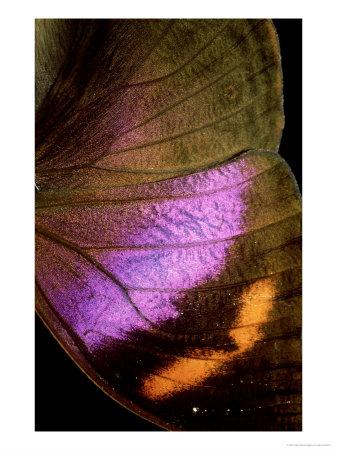 \'Kallimi Rumia Kassaiensis, Close Up of Wing, Uganda\' by John Woolmer