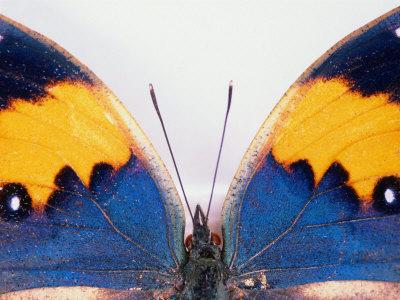 \'Detail of a Butterfly Body and Wings, Wolong, Ziran Baohuqu, China\' by Keren Su