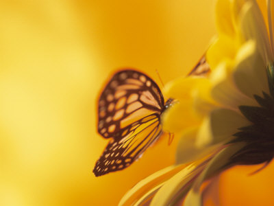 \'Monarch Butterfly on Daisy\'