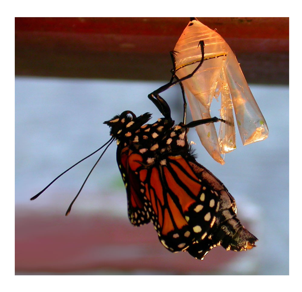 Monarch Emerges from Chrysalis