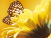 The site I got this off doesn\'t provide the artist\'s name, which is a shame. I\'m either going with \'Lonely Butterfly\' or one of these two yellow-themed butterfly and daisy pics for Twitter.  :: \'Black and Yellow Butterfly on Yellow Flower\'