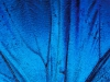 Whoa!  Now that\'s blue! :: \'Detail of Blue Morpho Wing, Barro Colorado Island, Panama\' by Christian Ziegler